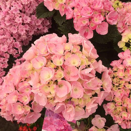 绣球甜蜜幻想精品黑方盆栽阳台露台花园灌木庭院植物花
