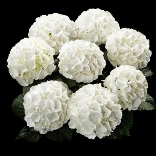 绣球雪球青山盆栽阳台露台花园灌木八仙花庭院植物花卉
