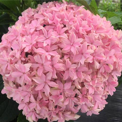 绣球灵感精品黑方盆栽阳台露台花园八仙花灌木庭院植物