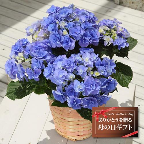绣球妖精之瞳 精品黑方盆栽露台花园灌木八仙花庭院花卉