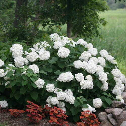 乔木绣球无敌贝拉安娜 精品黑方盆栽花园八仙花庭院植物