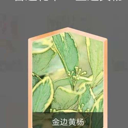 金边黄杨.jpg