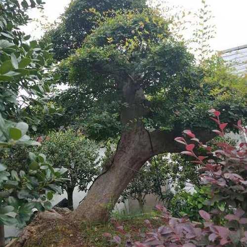 榆树盆景.jpg