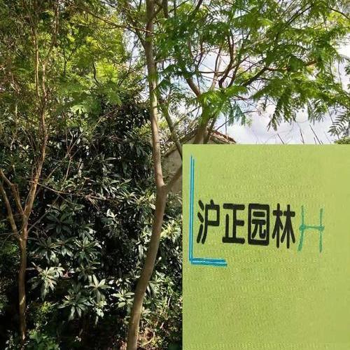 合欢树.jpg