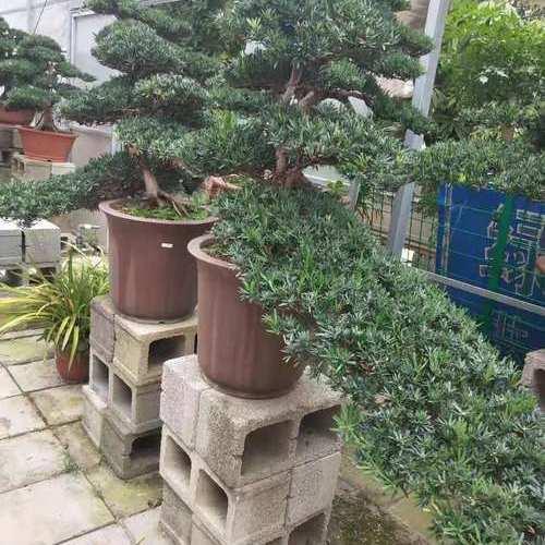 松树成双对盆景.jpg