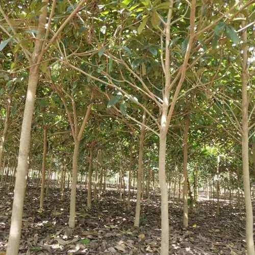 枇杷苗树.jpg