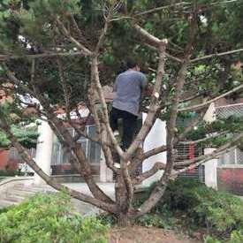 修剪松树案例