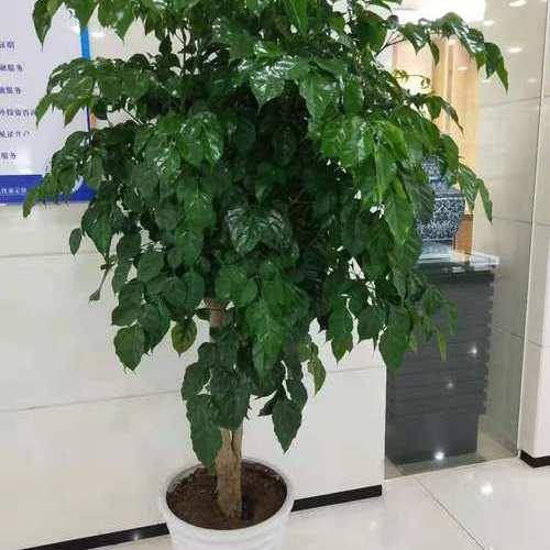 1.8米绿宝树