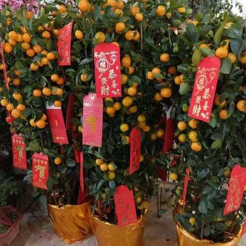 橘子树(春节用).jpg