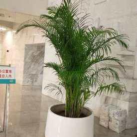 散尾葵盆景