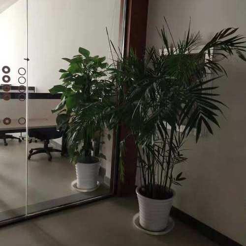 夏威夷竹盆景