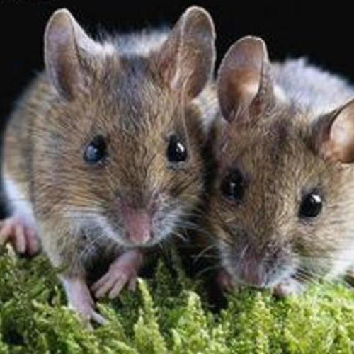 家庭灭鼠**方法_如何在居民区灭鼠_家有老鼠怎么办?