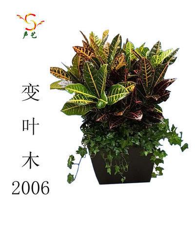 2006變葉木