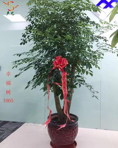 1005幸福樹