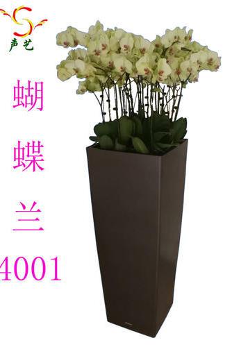 4001蝴蝶蘭
