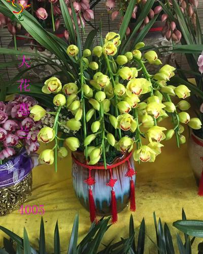4005大花惠蘭