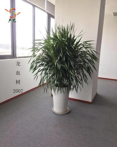 2007龍血樹
