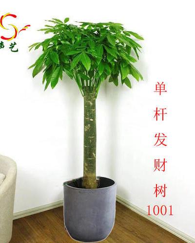 1001單桿發財樹