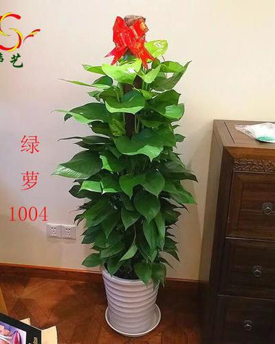 1004綠蘿