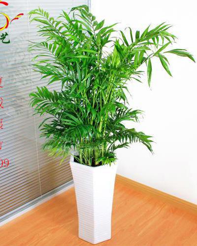 1009夏威夷竹