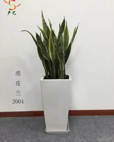 2004虎皮蘭