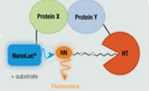 目标参与细胞内激酶测定(NanoBRET)