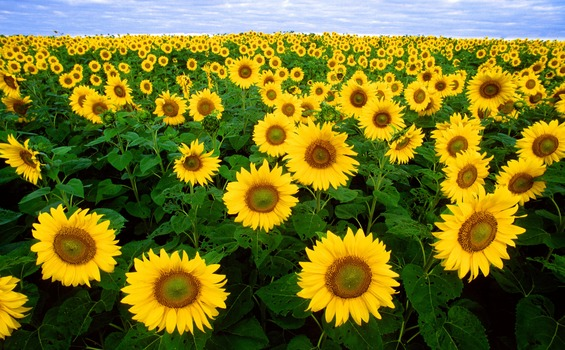 Sunflower Field Under Blue Sunny Sky