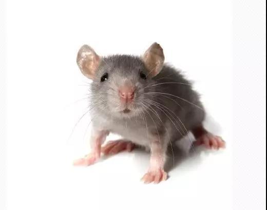 上海灭鼠公司.jpg