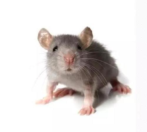 怎么样挑选灭鼠公司,上海专业灭鼠公司给你建议。