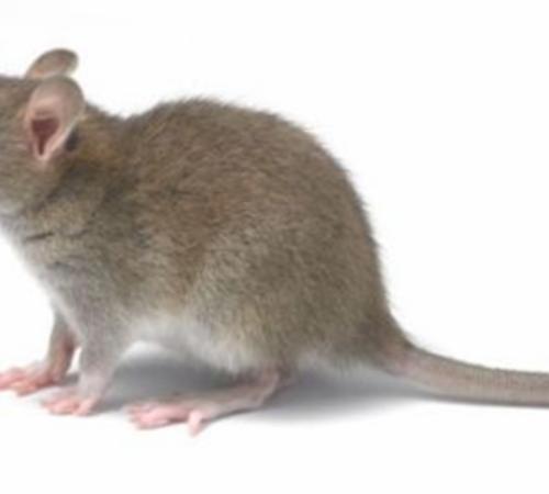 灭鼠公司用什么办法灭鼠?