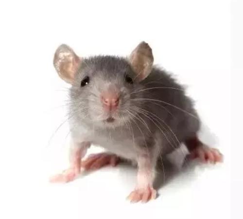 灭老鼠公司怎么对餐厅灭鼠?