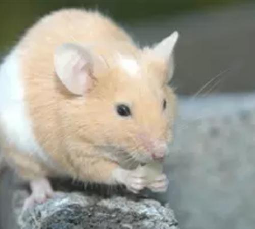 上海灭老鼠公司如何科学的灭鼠?