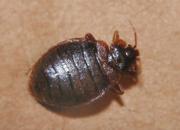 虫控公司如何消灭臭虫?