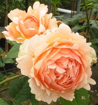 Ambridge Rose  4.jpg