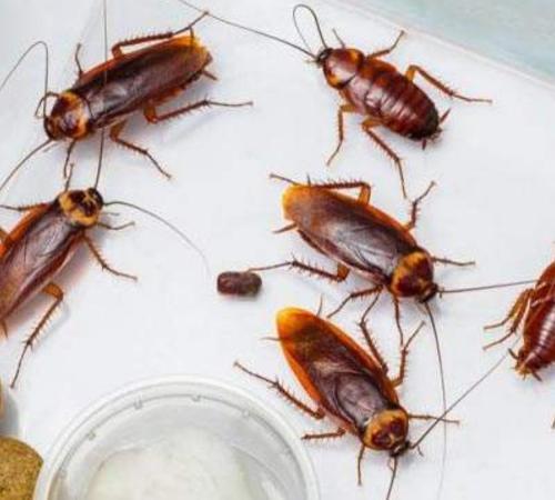 灭蟑螂公司告诉你消灭蟑螂的最好方法是什么?为什么蟑螂这么难消除