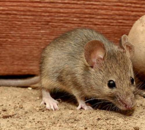 为什么老鼠咬电线不会被电死