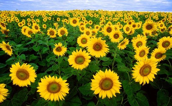 Sunflower Field Under Blue Sunny Sky