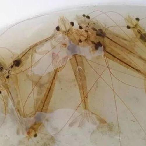 池塘排污差、水浓、发粘,虾活力差耗虾严重怎么办?