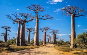 马达加斯加 猴面包树 Baobab Trees Madagascar