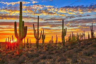美国 亚利桑那州 树形仙人掌 Saguaro Arizona USA