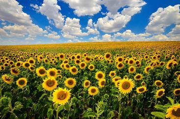 法国 普罗旺斯 向日葵 Sunflower Provence France