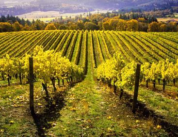 美国 俄勒冈州 葡萄园 Vineyard Oregon USA