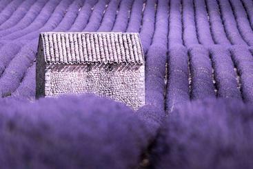 法国 普罗旺斯 薰衣草 Lavender Provence France