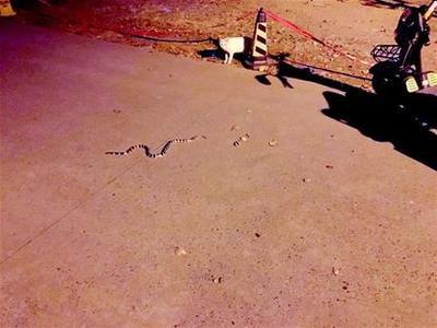 校园内有蛇深夜出没 专家称或是银环蛇不要自行捕捉
