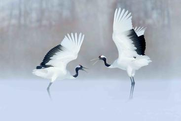 丹顶鹤 Red-crowned crane