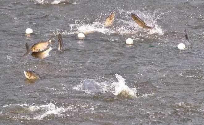 鱼类应激.jpg