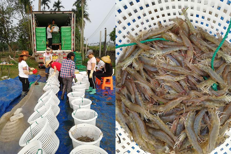 卖虾-拼图.jpg