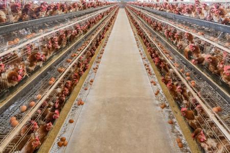 关于肉鸡环境控制