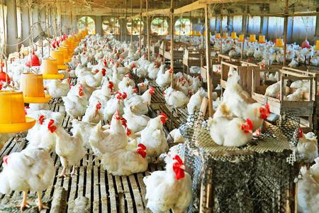 环境控制器在鸡场管理中的应用