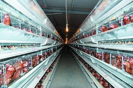 养鸡场如何调节鸡舍中的温度